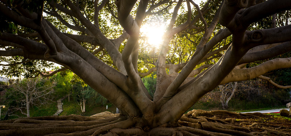 The sun shines through the branches of a large tree - Pepperdine University